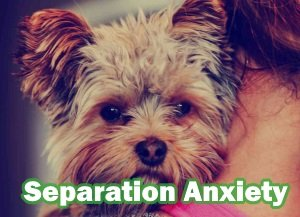 Yorkshire Terriers with Separation Anxiety